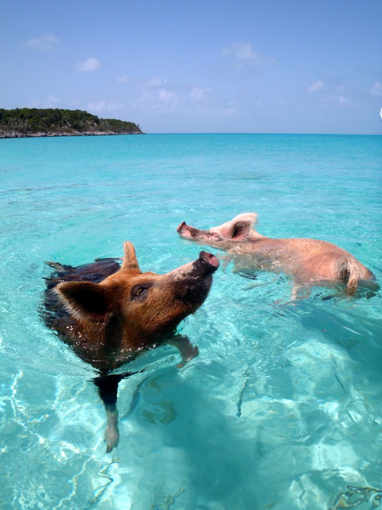 Image: Pigs swimming in the Bahamas, courtesy of cdorobek